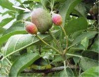 La Cura del Frutteto nel mese di Maggio
